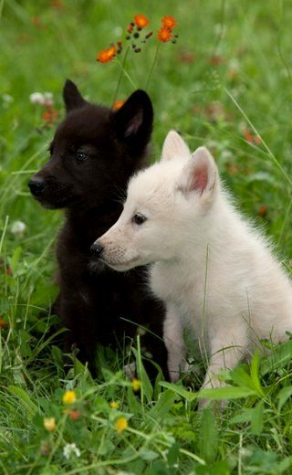 White and black wolf cubs !