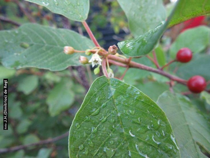 RHAMNACEAE rhamnus frangula (sporkehout)