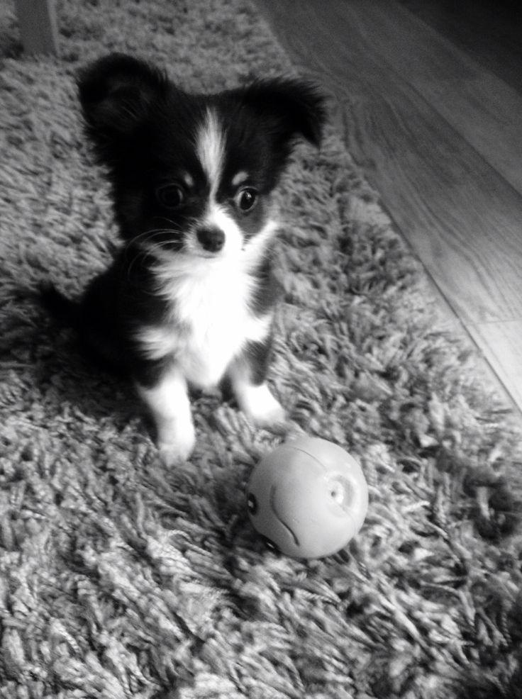 Alfie our cute chihuahua