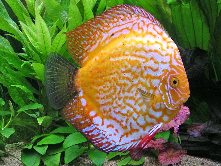 17 best images about poisson aquarium discus on copper auction and colorful fish