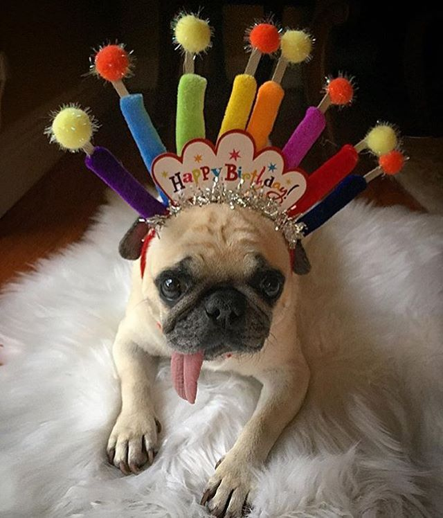 Birthday Pug PARTY PUGS Happy Birthday Animals Dog
