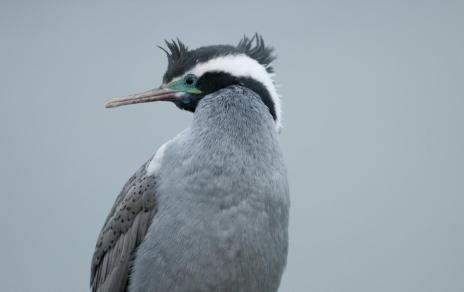 Spotted shag. Close-up of adult. Kaikoura, New Zealand, by Philip Griffin