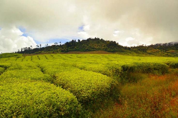tea garden, west sumatera