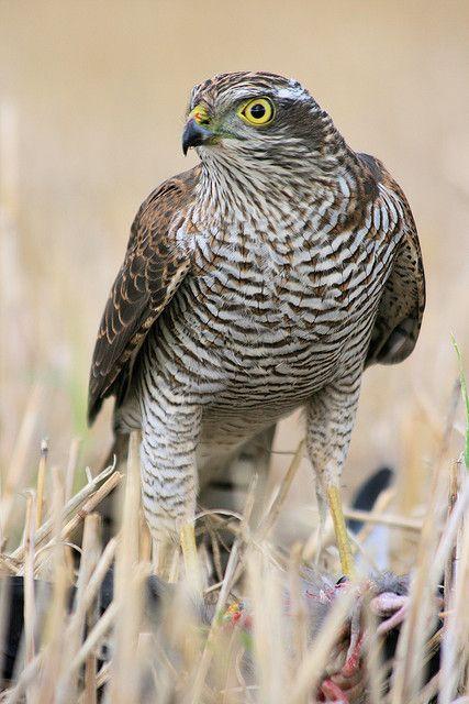 howtoskinatiger:        Sparrowhawk / Varpushaukka / Sparvhök by Storspov on Flickr.