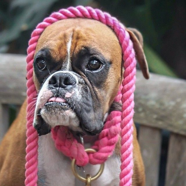 Cutest Boxer Ever Google Search With Images Boxer Dogs