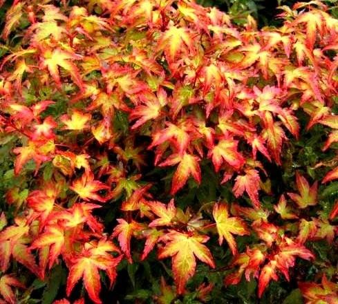 Kigi Nursery - Acer palmatum ' Murasaki kiyohime ' Japanese Maple Tree, $20.00 (http://www.kiginursery.com/dwarf-miniatures/acer-palmatum-murasaki-kiyohime-japanese-maple-tree/)