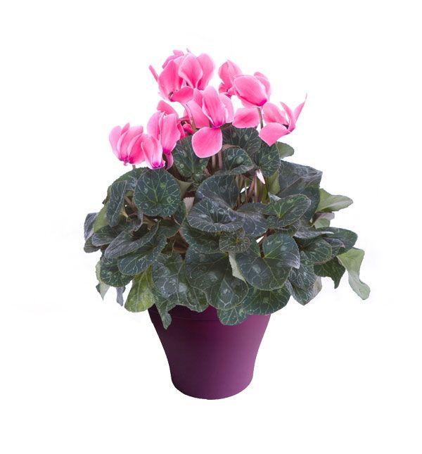 Cyclamen rose foncé avec cache pot violet