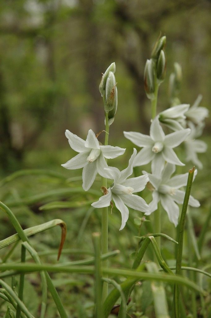 Star of Bethlehem is a winter bulb that blooms in late spring or early summer. Learn how to grow these plants and keep them maintained using the information found in this article. Learn more here.