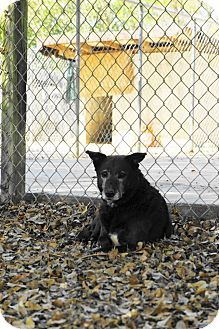 3 2/16sl 8/2015 - Born Free Pet Shelter, ♥♥MIDNIGHT *SENIOR* The shelter has been my home for quite some time . I've seen so many puppies and younger dogs get adopted, but I remain here, waiting for my chance... .Key Biscayne, FL - Retriever (Unknown Type)/Terrier (Unknown Type, Medium) Mix. Meet Midnight, a dog for adoption. http://www.adoptapet.com/pet/6657556-key-biscayne-florida-retriever-unknown-type-mix