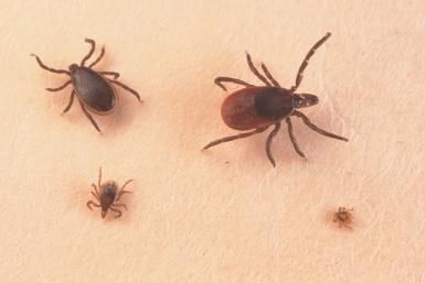 All About Ticks on Dogs