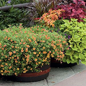 25 best flowers annual calibrachoa images on pinterest container garden beautiful flowers and. Black Bedroom Furniture Sets. Home Design Ideas