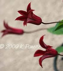 Image result for clematis texensis Pagoda seeds to buy