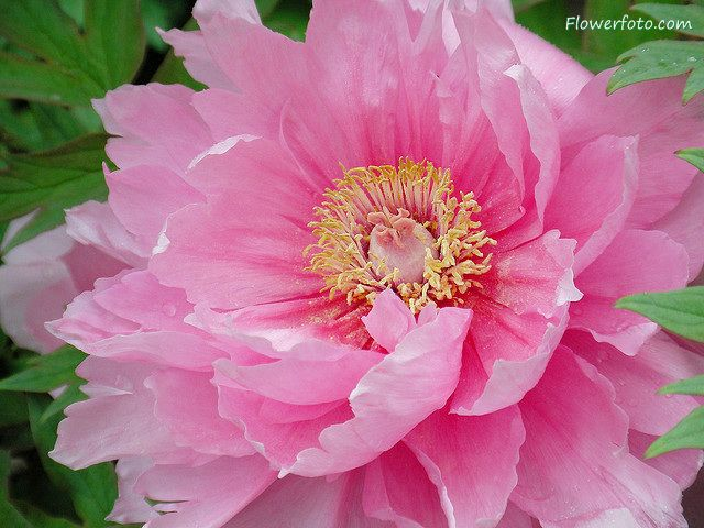 flowers pictures   peony flower tattoo , Peony Flowers