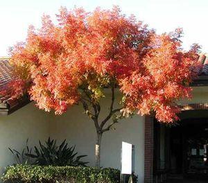 Jap. Maple Tree