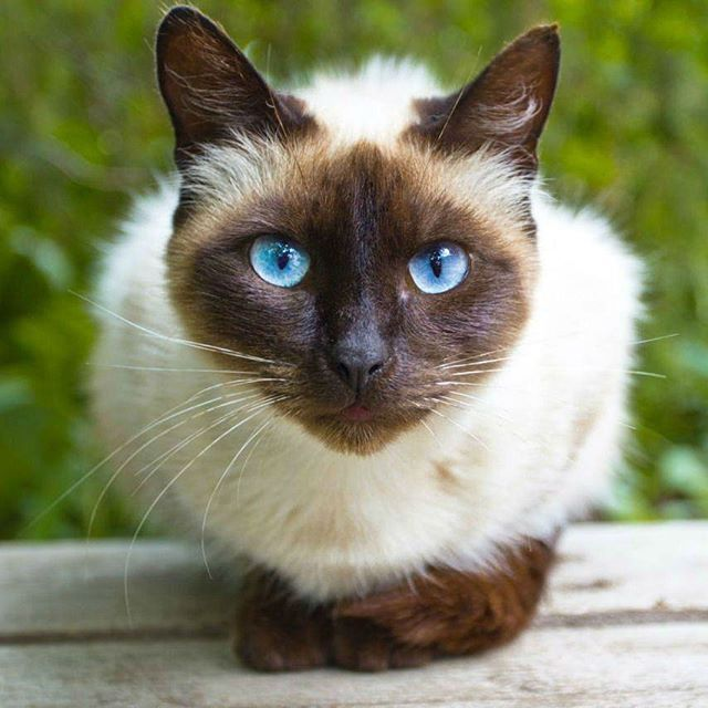 Blue Eyed Cats Have A High Tendency To Be Deaf But Not All Cats With Blue Eyes Are Deaf Cat Siamese Cats Facts Cat With Blue Eyes Most Popular Cat Breeds