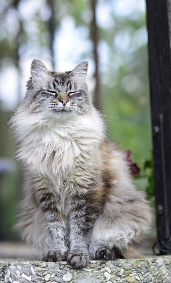 From Russia with love: that's the Siberian, a glamorous native cat from the taiga of Siberia, a forested area with a subarctic climate that no doubt contributed to this cat's long, thick, protective coat. See all Siberian characteristics below! >>> More info could be found at the image url. #cattips