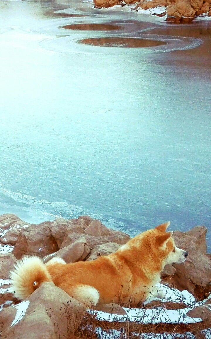 Japanese Akita Inu Nami by frozen river