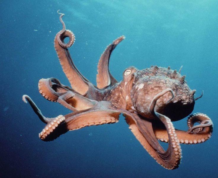 Étonnants animaux des océans - La pieuvre