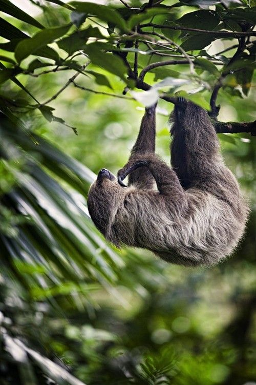 Three-toed Sloth (Nicholas Leong). S)  id live in the jungle and make friends with a sloth, hopefully his name would be agustus