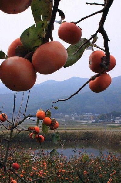 富有柿|石岡市|果物狩り実施中!