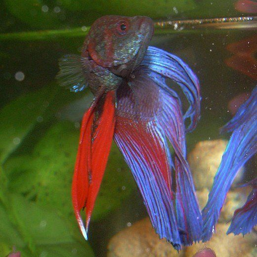 Find out if you should add a filter and heater to your Betta fish's tank. Learn the true needs of this beautiful, tropical fish.