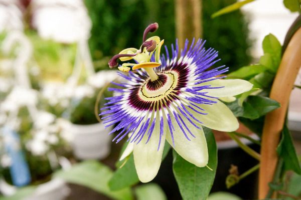 Passiflora Blue Bouquet Passion Flower