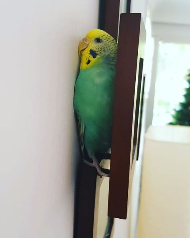 """1,331 Likes, 48 Comments - Just bird things (@feathers77) on Instagram: """"Sophie's new obsession .. she seems to love tiny spaces .. anyone know if this is normal?? . . ...…"""""""