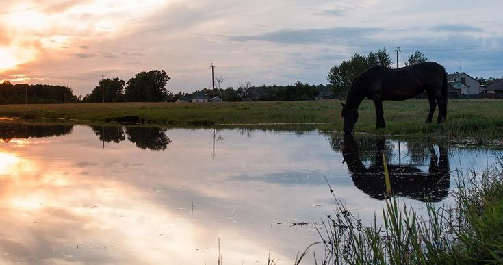 A Complete, Modern Guide to Potomac Horse Fever | SUCCEED Equine Blog - A bacterial infection that can lead to fever, loss of appetite, diarrhea and death, horses grazing near water or on irrigated pastures are most at risk. #SUCCEEDContest