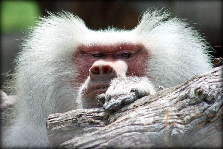 This baboon is ready for its close up