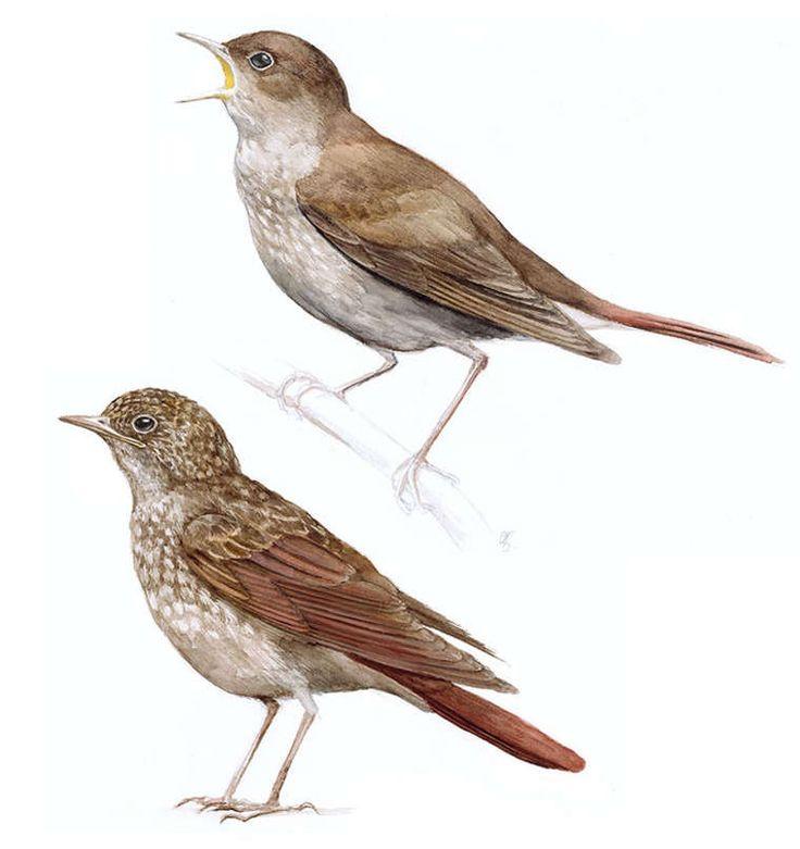 How do the nightingale bird use its beak