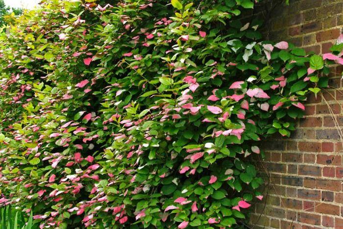 M s de 25 ideas incre bles sobre plantas trepadoras en - Plantas trepadoras para muros ...