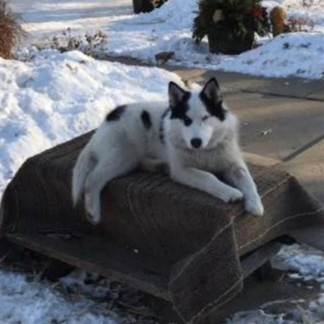 Lost Dog Howard Lake Siberian Husky Male Date Lost 01 19 2020 Dog S Name Rosco Breed Of Dog Siberian Husky Gender Male Close In 2020 Losing A Dog Dog Ages Dogs