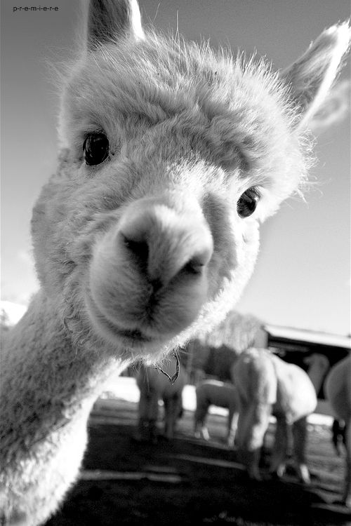 alpaca, what a friendly face!