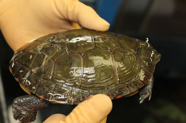 A turtle in recovery at Kawartha Turtle Trauma Centre