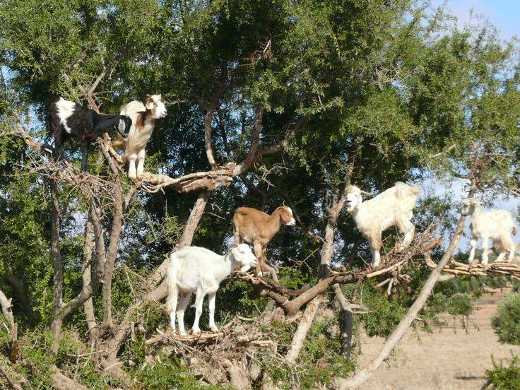 Goats in trees, because that's where you would expect to find goats... Morocco
