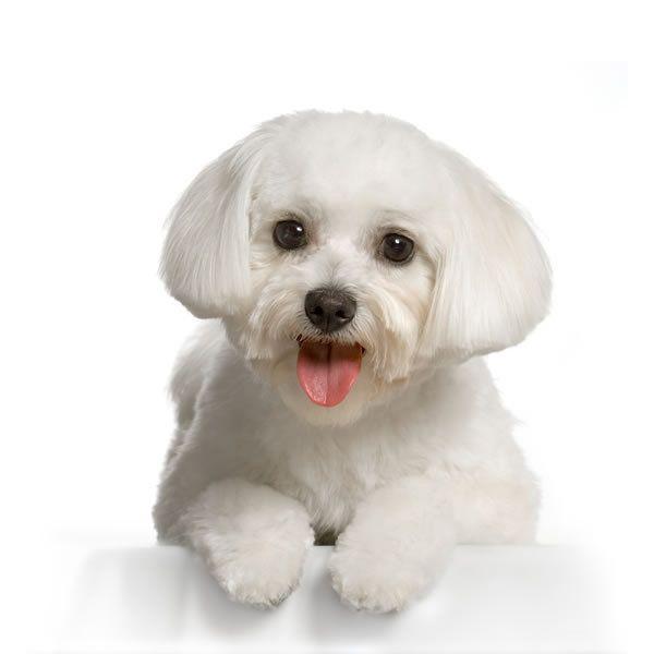 Maltese small dog  breed