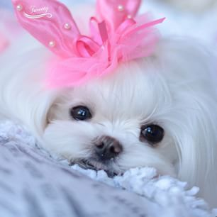 This Maltese adores you!