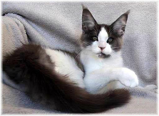 """Maine Coon, black smoke & white (ns 09). ANCATS CH TIMARACOON'S ROCCO GRANATA OF XQUIZIT"""" *NL"""