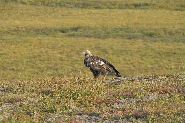 Golden Eagle, Dempster Highway by jksnijders, via Flickr