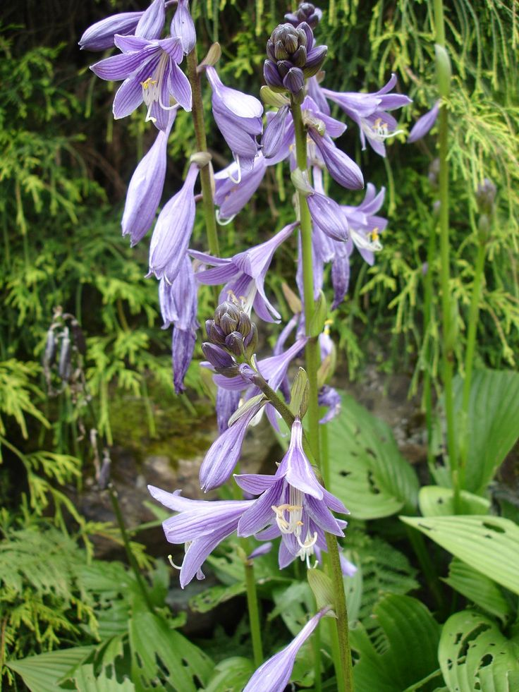New varieties of hosta flowers to try in your shade garden