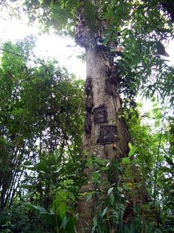 the baby-grave tree in Kembira| Tana Toraja, South Sulawesi, Indonesia