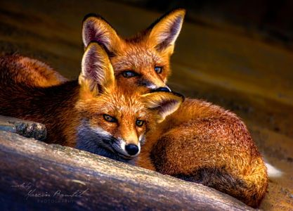 What does the fox say? by Marcin Bambit