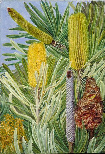 A West Australian Banksia  Location: Australia, West Australia  Plants: Banksia, Banksia attenuata