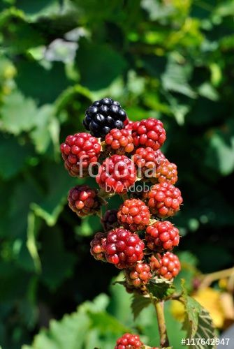 """Rovo """"Rubus ulmifolius"""" con frutti in maturazione - More"""