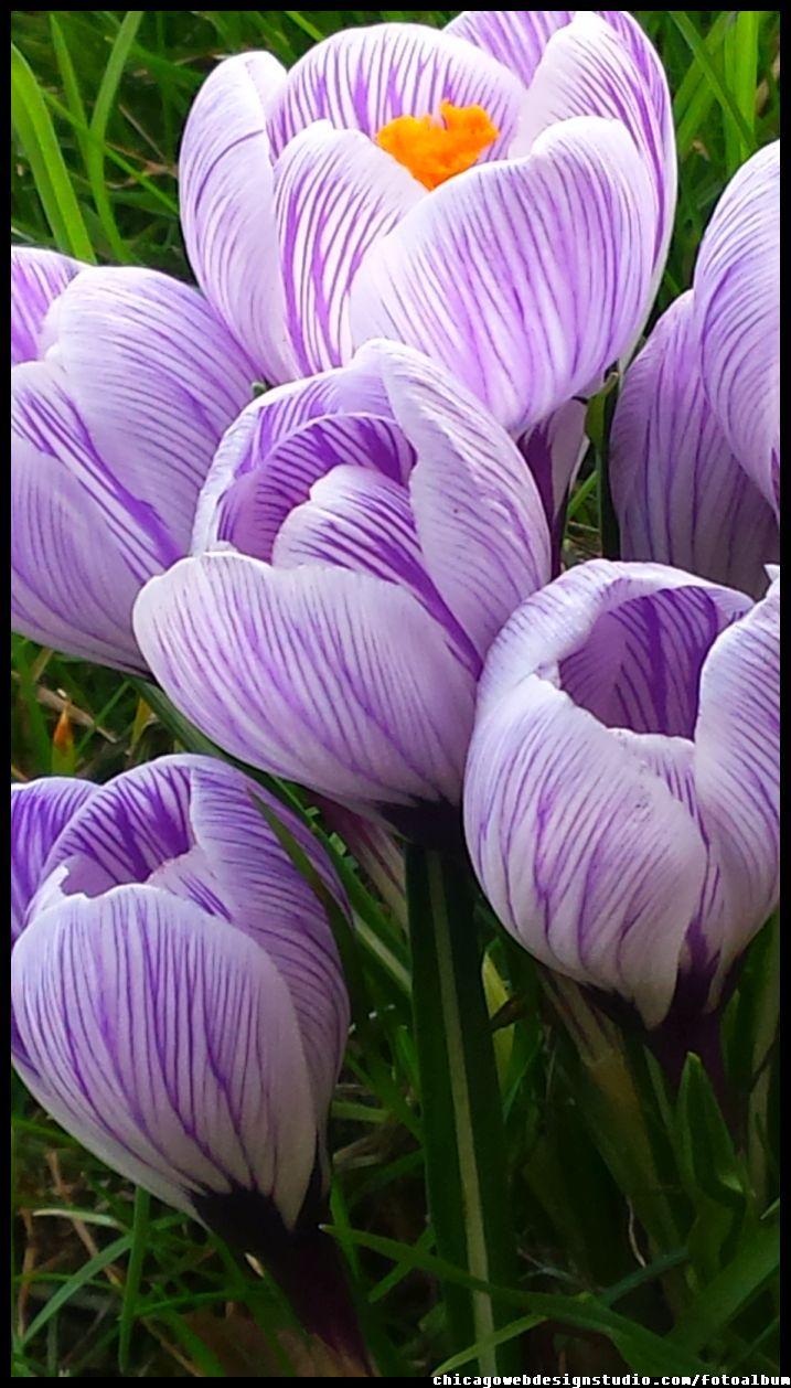 krokusy #kwiaty #flowers #polish flowers #polskie kwiaty #kwiatki #kwiaty ogrodowe #kwiaty polne #kwiaty leśne #przebiśniegi #śnieżyczki #pierwiosnki #kwiaty wiosenne #wiosna #spring #krokusy #przebiśniegi #hiacynty #przyroda #natura #kwiaty wiosenne #spring flowers #polish flowers #Polskie kwiaty
