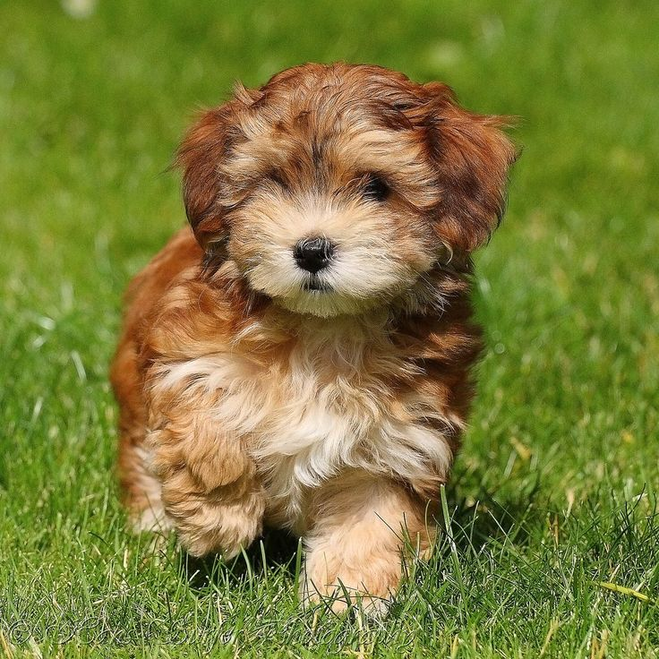 Havanese Puppies - difficult to housetrain :( But they don't shed!