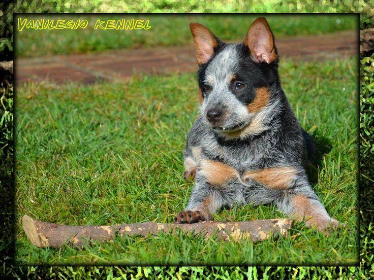 Australian Cattle Dog (ACD) / Vanilegio Charisma 3 mesi / Allevamento Australian Cattle Dog Vanilegio www.vanilegio.it