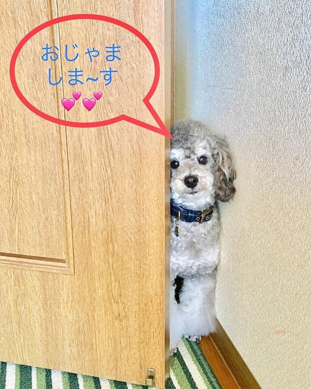 覗き見、れんで~す☘️#dogstagram #dogsofinstagram #といぷーどる #シルバートイプードル #愛犬#トイプードル