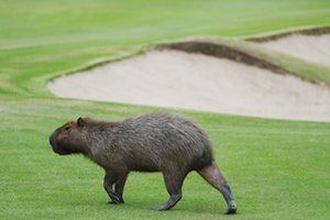 A capybara crosses a fairway during a practice round for the Olympic golfers.