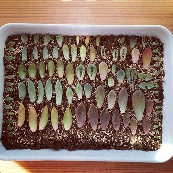 乾いた土に、葉を並べて数日間おいておきます。 水を与えなくて大丈夫。 多肉に直接お名前を書いている方も多いみたい!